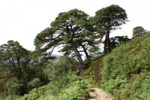 IMPACTED caledonian pines Glen Affric Named Tree of Scotland for 2014